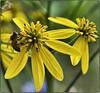 Yellow Bee (Steve4343) Tags: nikon d70 d70s yellow flower bee garden tennessee 105mm sigma fantasticflower steve4343