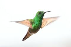 Berylline Hummingbird in Mid-Hover ♂ (matt knoth) Tags: hummingbird mexicocity chapultepecpark amazilia hovering birds birding macho male jardin botanico