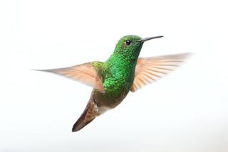 Berylline Hummingbird in Mid-Hover ♂