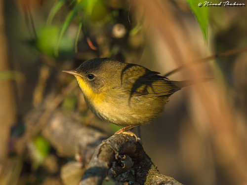"""Common Yellowthroat • <a style=""""font-size:0.8em;"""" href=""""http://www.flickr.com/photos/59465790@N04/37052858370/"""" target=""""_blank"""">View on Flickr</a>"""
