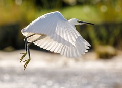 Little Egret (egretta garzetta) (gunvardÅnensen) Tags: littleegret nikon nikon200500 bird wildlife nature shore norway karmøy karmoy nikond7200 bif birdsinflight