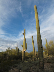 Evening in Cactusland (zoniedude1) Tags: arizona desert landscape sonorandesert saguaros cactus sunset sky beauty scenic view eveningincactusland saguarocactus carnegieagigantea saguaro clouds green desertscape az 1850ftelevation peace solitude serene wildplaces sonorandesertscape outdoors adventure exploration discovery hieroglyphicmountains maricopacounty winter2016 southwest nature canonpowershotg12 pspx9 zoniedude1 earthnaturelife