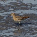 Sharp-tailed Sandpiper - Richmond, BC thumbnail