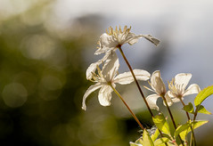 "fine art colour shot of white clematis gleaming in the sun and bokeh of a Scottish afternoon, A Potterton Garden, Aberdeenshire, Scotland (grumpybaldprof) Tags: clematis ""buttercupfamily"" ranunculaceae ""travellersjoy"" ""virginsbower"" ""oldmansbeard"" ""leatherflower"" ""vasevine"" flower sun contrast garden flowers promise potterton aberdeenshire scotland colours bud stem green elegance beauty light texture plant petals petal floral sheen veins intensity hue vibrancy shape leaf colour flora striking brilliance shadow hairs macro stack dof ""multiplefocuspoints"" ""depthoffield"" detail details ""detailsoflife"" ""depthoffieldstacking"" white sunshine afternoon bokeh mood atmosphere cheerful beautiful canon 7d ""canon7d"" 100 100mm f28 ""isusm"" ""canonef100mmf28lmacroisusm"""