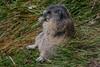 Murmeltier beim Gras mümmeln (cfowallburg) Tags: österreich nationalparkhohentauern murmeltier