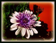 pinwheel ~ redux (milomingo) Tags: flower nature petal bloom daisy closeup frame border bright contrast light shadow mygarden botanical white purple green orange bold vivid photoborder floral