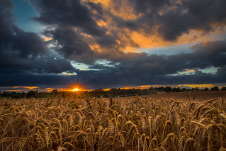 Sunset in the wheat field