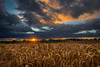 Sunset in the wheat field (Alan10eden) Tags: wheat ears grain cereal crop tillage arable harvest cut ripe straw combine thresh summer ulster farmer farm agriculture northernireland sunset evening dusk sundown sunstar sunburst canon 80d sigma 1770mm landscape view alanhopps cropping rotation bread livestockfeed drama clouds darkclouds showers threatening weather