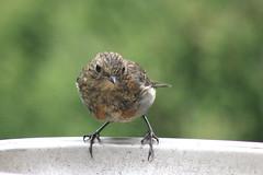 Robin. (the.haggishunter) Tags: wild wildlife nature bird garden robin young feeder