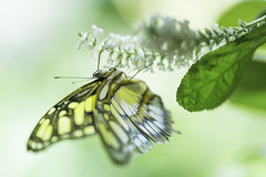 20170923_F0001: Feeding butterfly (wfxue) Tags: smithsonian nationalmuseumofnaturalhistory butterflypavilion museum animal plant butterfly flowers leaf green insect nature biology science macro