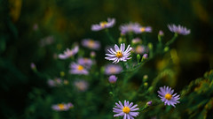 """""""Purple of Confusion"""" (36D VIEW) Tags: helios44258mmƒ2 helios 58mm sony mirrorless a7m2 a7ii bokehlicious beyondbokeh flowers flowerscolors swirly nature bokeh dof"""
