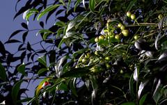 _MG_1960.CR2 (jalexartis) Tags: nandinadomestica nightphotography night nightshots lighting shrub shrubbery camranger lumecube