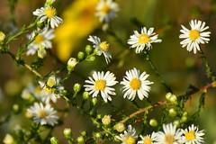 Aster Time (NaturalLight) Tags: aster chisholmcreekpark wichita kansas
