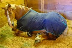 DSCF9470.jpg (RHMImages) Tags: drafthorseclassic horseshow show x100f animals horses nevadacounty fuji fujifilm fairgrounds grassvalley