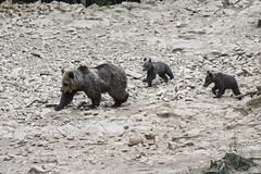 IMG_6528 (Branko.Hlad) Tags: medvedka bears gozd narava živali animals