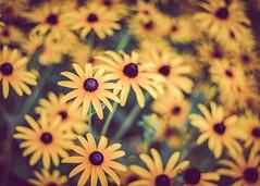 Flowers (rickmcnelly) Tags: flower gx8 rollei carl zeiss planar 50mm18 rolleicarlzeissplanar50mm18 fade
