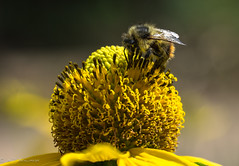Mutual respect (Bill Bowman) Tags: yellowheadbumblebee bombusflavifrons cutleafconeflower rudbeckialacinata pollination mutualism mountainresarchstation colorado southernrockymountains