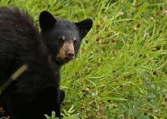 Black Bear cub...#12 (Guy Lichter Photography - 3.5M views Thank you) Tags: canon 5d3 canada manitoba rmnp wildlife animal animals mammal mammals bear bears blackbear cub