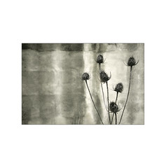 Thistles.   ( Huarte ) (José Luis Cosme Giral) Tags: thistles wall texture minimal 1x1 3x2 old decay urbannature minimalismo marcoblanco nikon fm2 3570mm kodachrome64 scanned huarte navarra