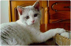 Néo-doux (Antiphane) Tags: chat cat kitten chaton selkirk rex pet animal de compagnie
