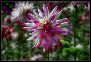 Cactus dahlia  on a sunny day.....