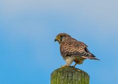 Kestrel  ( Falco  tinnunculus ) (Dale Ayres) Tags: kestrel falco tinnunculus bird nature wildlife