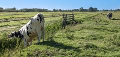 Greener pastures (Jorden Esser) Tags: middendelfland bendingover cow cows ditch fence field grass hff nederlandvandaag fencefriday smile