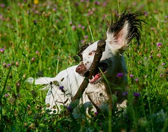 Those dogs having fun in the meadow. (TrevKerr) Tags: dog englishspringerspaniel spaniel nikon d3s meadow wildflowers