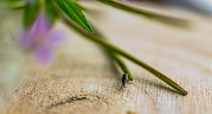 (ChicqueeCat) Tags: macro insect bug nature nikon d3300 40mm