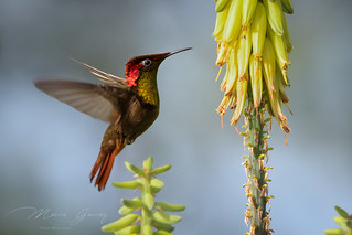Ruby-Topaz Hummingbird (Chrysolampis mosquitos) A beautiful glowing hummingbird from Colombia.