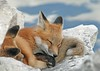 Sweet Dreams (marylee.agnew) Tags: dreams sweet red fox kit young vulpes wildlife nature sleeping outdoor sky