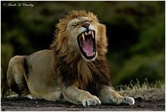 The Awakening! (MAC's Wild Pixels) Tags: theawakening lion malelion olkejupride lionpride lionking lions kingofthejungle kinglion wildcat pantheraleo wildlife animal carnivore predator africanwildlife wildafrica wildanimal mammal sunset goldenlight goldenhour bigpussycat beautifulpussy wildpussy safari gamedrive maasaimaragamereserve masaimara kenya macswildpixels outdoors outofafrica africanlion ngc npc sunrays5