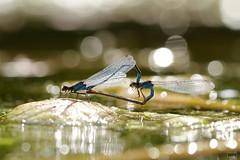 2017_17621 (niek haak) Tags: dragonfly dragonflies odonata libel erythrommaviridulum kleineroodoogjuffer copula mating matingwheel paring paringswiel