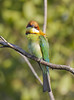 Chestnut-headed Bee-eater 2 (GaryKurtz) Tags: chestnutheadedbeeeater birdsofthailand birdsofkrabi garykurtzbirdphotos
