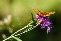 Pärlemorfjäril (evisdotter) Tags: pärlemorfjäril argynnisadippe butterfly fjäril insect nature macro bokeh sooc flower blomma tistel coth5 ngc