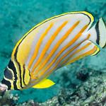 Ornate Butterflyfish - Chaetodon ornatissimus thumbnail