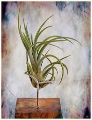 (2602) Tillandsia ionantha x baileyi (Air Plant) (QuimG) Tags: tillandsias natura nature naturaleza retoc retoque retouch textures macro quimg quimgranell joaquimgranell tillandsiaionanthaxbaileyi