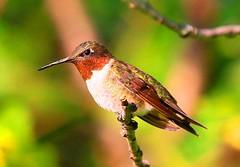 ruby-throated hummingbird male at Chipera Prairie IA 854A8427 (lreis_naturalist) Tags: rubythroated hummingbird male chipera prairie winneshiek county iowa larry reis