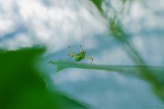 🌿 (martinap.1) Tags: insect macro nikon d3300 40mm nature makro insekt green grün grasshopper grashüpfer heuschrecke natur garten garden bokeh