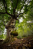 Le Vieux Chêne (Hervé D.) Tags: arbre chêne nature paysage pyrénées ossau ayous biousartigues tree