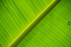 The Veins, Banana Tree Leaf (RJ-Clicks (1 million+ views)) Tags: rehanjamil rjclicks nikond5100 nikon d5100 pakistaniphotographer photographerindammam photographerinkhobar pakistani