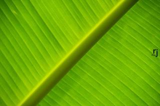 The Veins, Banana Tree Leaf