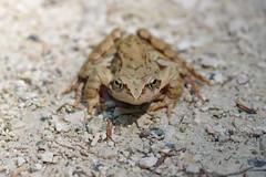 Springfrosch (Aah-Yeah) Tags: springfrosch frosch frog rana dalmatina froschlurche marquartstein achental chiemgau bayern