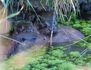 Otter (1 of 2)