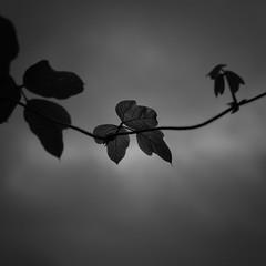 leaves/葉 (s_inagaki) Tags: leaves 葉 jupiter850mmf2 tokyo snap monochrome blackandwhite bnw bw 東京 スナップ モノクロ 白黒