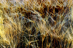 Trigal2 (alanchanflor) Tags: canon verano dorado trigo trigal maduro color exterior maturaleza siembra fruto cereal