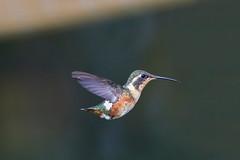 Colibrí (José M. Arboleda) Tags: ave colibrí trochilinae léguaro coconuco colombia canon eos 5d markiv ef400mmf56lusm josémarboledac