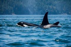 2 Orcas (schoeband) Tags: orca killerwhale biggsorcas transientorcas rosariostrait orcasisland washington unitedstatesofamerica usa