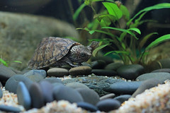 IMG_9749 (Laurent Lebois ©) Tags: laurentlebois france reptile rettile reptil рептилия tortue turtle tortoise tortuga tartaruga schildkröte черепаха chelonia sternotherus minor terrariophilie razorbackmuskturtle cinosterne