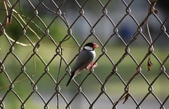 Java Sparrow  (lonchura oryzivora) (alexmoore14) Tags: fence java javasparrow passerine passerinebird javafinch lonchura oryzivora lonchuraoryzivora finch estrildidfinch honolulu oahu hawaii nature wildlife avian perched perchedbird nikon d3400